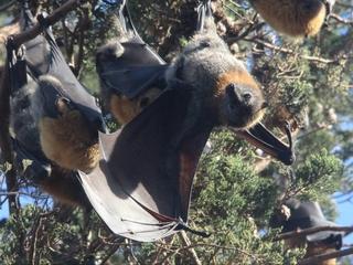 An Australian town is being overrun by bats