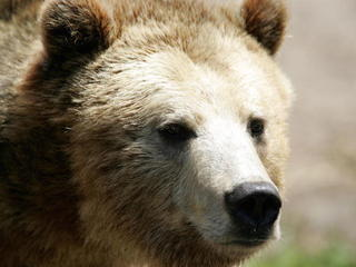 Montana man survives two grizzly bear attacks