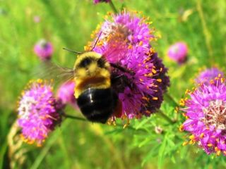 Rusty patched bumblebee now listed as endangered