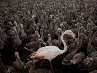 How flamingos sleep on one leg