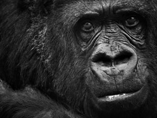 Constipated gorilla in Kansas zoo recovering