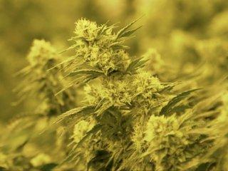 Colorado could ban marijuana again in the future