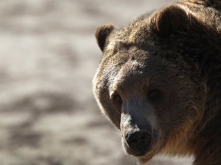 Judge to decide on grizzly bear hunt in Idaho